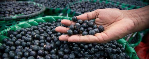 Стоит ли принимать ягоды асаи для похудения?